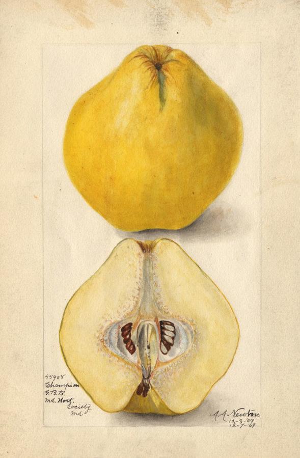 Illustration du coing à l'aquarelle, par Amanda Newton, 1909.