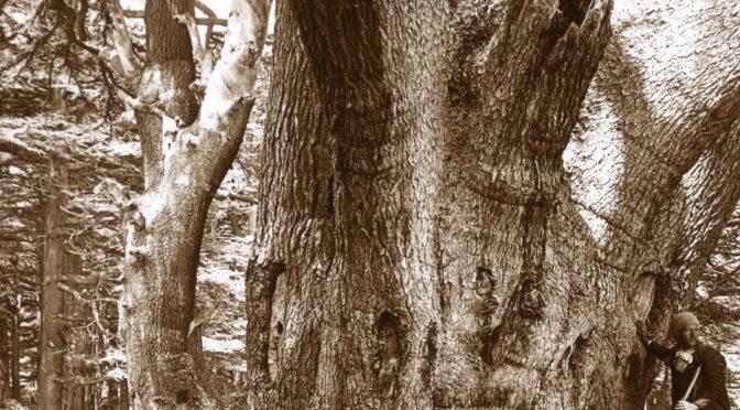 Le plus vieux cèdre du Liban en 1915 (archives de l'Oregon)